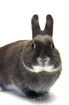 Portrait Of A Dwarf Rabbit Royalty Free Stock Photo