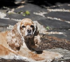 Free Buff Colored Cocker Spaniel Stock Photography - 20278602