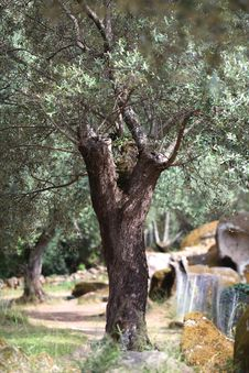 Free Old Olive Tree With Bushy Branches Royalty Free Stock Images - 20279479