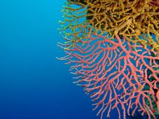 Yellow And Pink Corals Stock Image