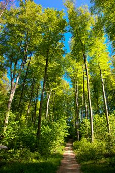 Free Beech Forest Royalty Free Stock Photo - 20279995