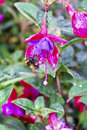 Free Fuchsia Flower Royalty Free Stock Images - 20280909