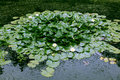 Free Duckweed And Water Lily Royalty Free Stock Photo - 20281495