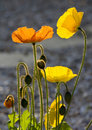 Free Yellow And Orange Poppies Stock Photos - 20282763