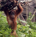 Free Standing Orangutan Royalty Free Stock Photography - 20283497