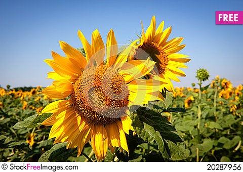 Free Sunflower Royalty Free Stock Image - 20287956