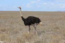 Free Ostrich Royalty Free Stock Photography - 20280067