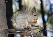 Free Squirrel Royalty Free Stock Images - 20280129