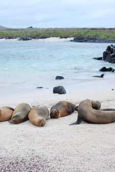 Free Galapagos Sea Lions Stock Photography - 20280182