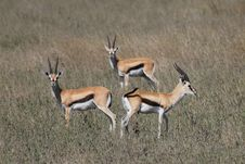 Free Gazelle Royalty Free Stock Images - 20280309