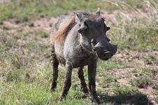 Free Wart Hog Stock Photos - 20280373