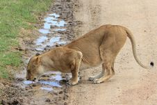 Free Lion Lady Drinking Stock Photos - 20280623