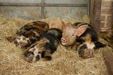 Free Sleepy Pigs Stock Photos - 20282133