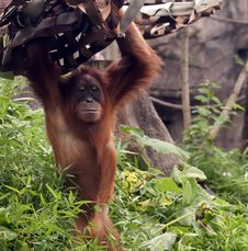 Free Standing Orangutan At Zoo Royalty Free Stock Photography - 20283497