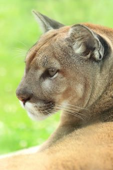 Free Closeup Profile Of Cougar Stock Photography - 20284592