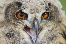 Free Owl Stock Photos - 20285213