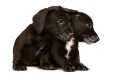 Free Black Bachshund Puppies Stock Images - 20285414
