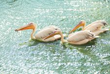 White Pelicans Wading In A Pond Royalty Free Stock Photography