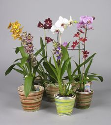 Free Orchids Royalty Free Stock Images - 20285489