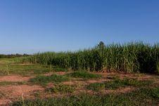 Free Sugar-cane Royalty Free Stock Photo - 20286715