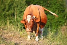 Free Cow In Meadow Royalty Free Stock Photo - 20287175