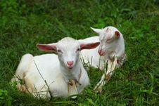 Free Kid Goats Stock Photo - 20288570