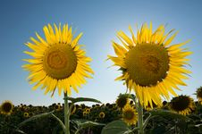 Free Sunflower Stock Image - 20288611
