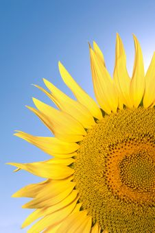 Free Sunflower Royalty Free Stock Photography - 20288677