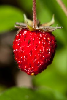 Free Wild Strawberry Royalty Free Stock Photos - 20288818