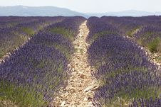Free Lavender Field In France Royalty Free Stock Photography - 20289167