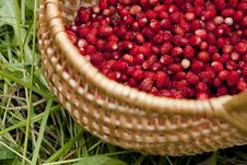 Free Wild Strawberries Stock Image - 20289421