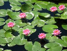 Free Water Lily Royalty Free Stock Image - 20289776