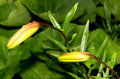 Free Lily Buds Stock Photography - 20292092