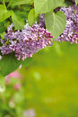 Free Blooming Lilacs Royalty Free Stock Images - 20293209