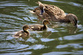 Free Duckling On The Water Royalty Free Stock Image - 20293836