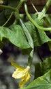 Free Growing Cucumber Stock Image - 20295061