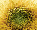 Free Sunflower Stock Photography - 20297842