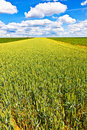 Free Corn Field In Summer With Blue Sky Stock Images - 20299224
