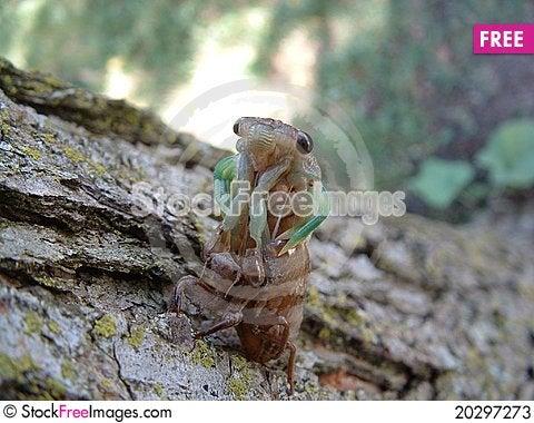 Free Cicadas Face Stock Photos - 20297273