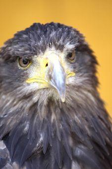 Free Eagle Stock Photos - 20290133