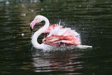 Free Washing Flamingo Royalty Free Stock Photos - 20290168