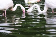Free Washing Flamingos Royalty Free Stock Image - 20290176