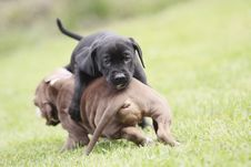 Free Playing Dogs Royalty Free Stock Photos - 20290218