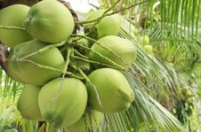 Free Young Coconut Royalty Free Stock Photo - 20290575