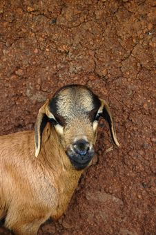 Free Goat In Front Of Mud Wall Stock Photo - 20290590