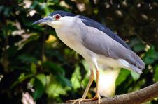Free Night Heron Stock Photos - 20290953