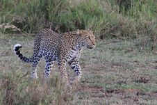 Free Leopard Stock Photo - 20291400