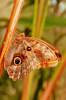 Free Giant Owl Butterfly Stock Photos - 20291403