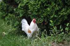 Free White Rooster Stock Image - 20291621