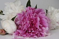 Free Peonies Royalty Free Stock Photo - 20291685